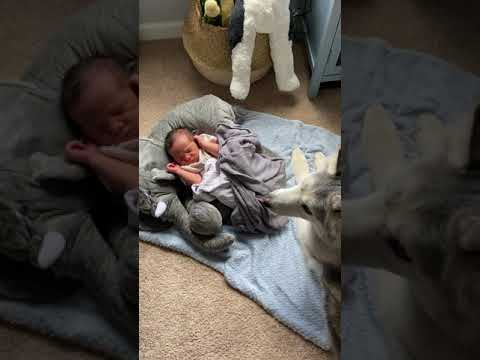 Stubborn Husky refuses to leave newborn baby brother