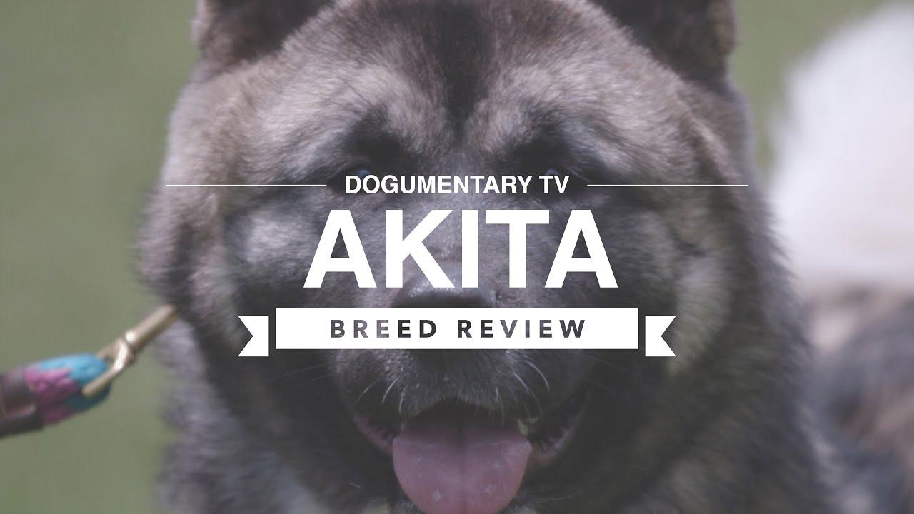 Download AKITA BREED REVIEW