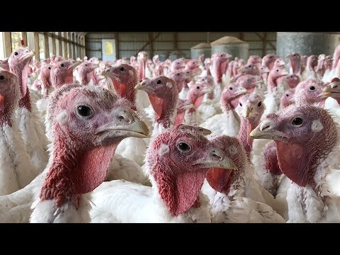 New Jersey farm raises over 7,000 turkeys annually since 1948