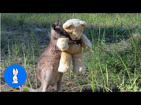 Cute Baby Kangaroos & Joeys // Cute Compilation