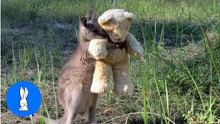 Baby Kangaroos & Joeys - CUTEST Compilation