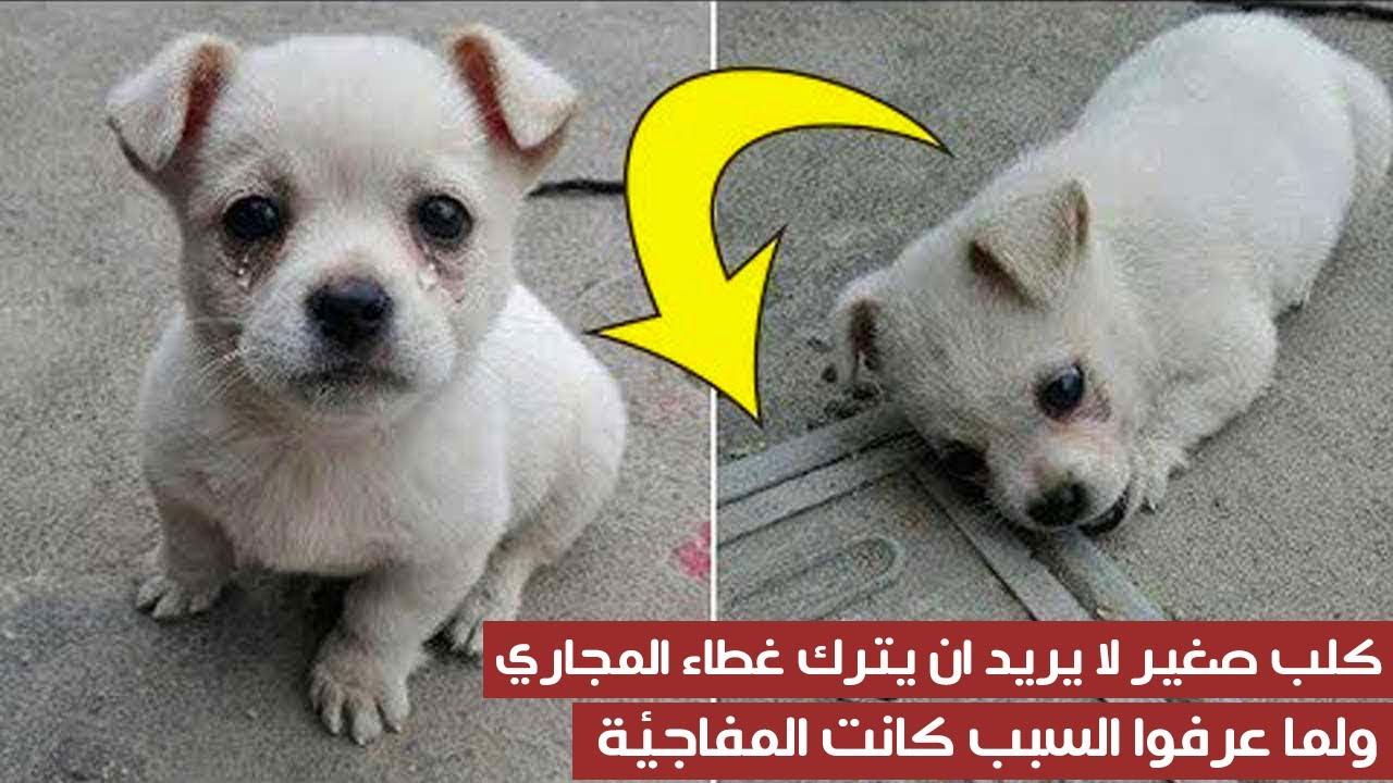 كلب صغير لا يريد ان يترك غطاء المجاري ، ولما عرفوا السبب كانت المفاجئة