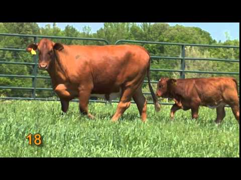 SOUTHERN TRADITION XIV PRODUCTION CATTLE SALE JUNE 28, 2014 PART 1