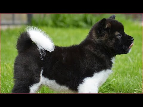 The best Akita videos compilation 2020. Animal story