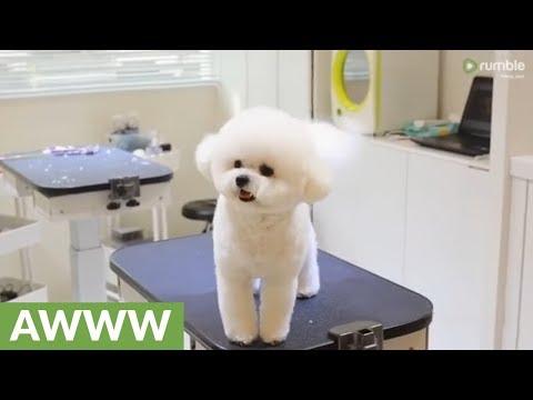 Bichon Frise Trick Video Funnydog Tv