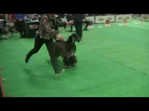Afghan Hound in Japan International dog show 2019