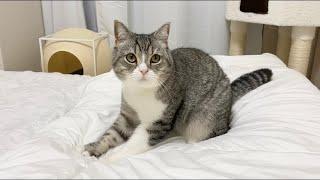 寝る時間になると先にお布団でふみふみして待ってる猫がかわいすぎた笑