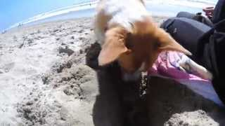 Corgi Works Hard At Beach Then Passes Out All Day