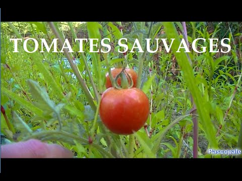 champs de tomates sauvages au milieu d 39 une rivi re tonnant youtube. Black Bedroom Furniture Sets. Home Design Ideas
