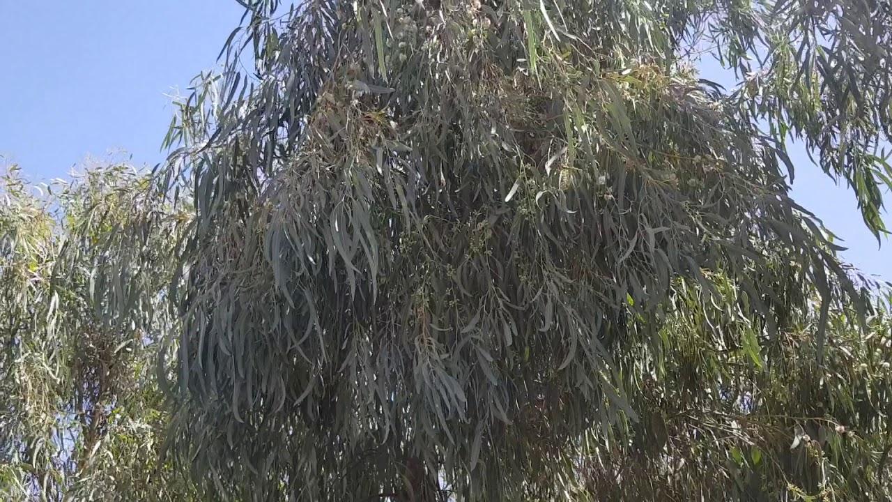 تعرفوا الى فوائد نبات الكينا والامراض التي يعالجها الطب العربي البديل