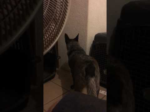 Australian cattle dogs reaction to thunder