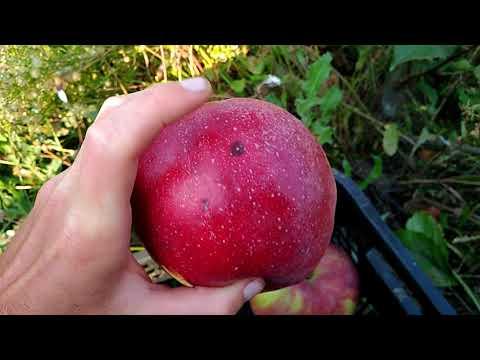 Сорт яблони Граф Эззо