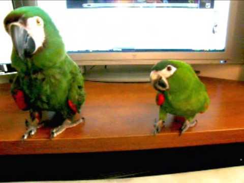Imabird Com Two Mini Macaws Enjoying Dust In The Wind