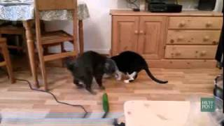 Кошки и огурцы!Приколы))