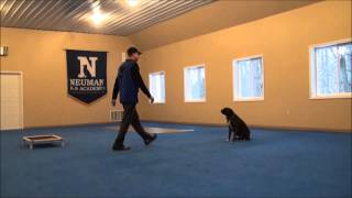 Bella (boxer) Video Demonstration Of A Trained Dog