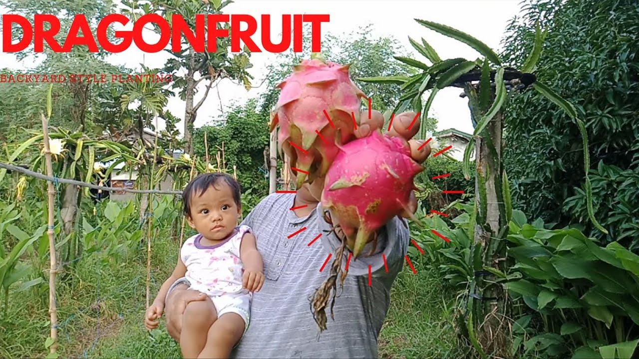DRAGon Fruit Plant Backyard style., BUHAY PROBINSYA ...