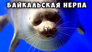 Байкальская нерпа - потрясающее животное! Baikal seal - nerpa