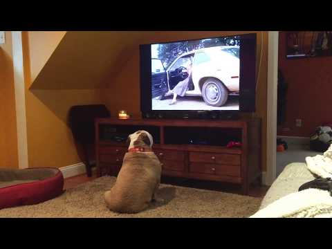 Two Bulldogs React To Horror Classic 'Cujo'.