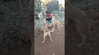 KANGAL Köpekler Ev koruması aslanlar