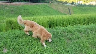 友人の水田のキヌヒカリも稲穂が沢山で始めました。 散歩の途中で、ほぼ...