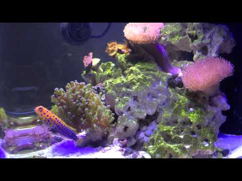Biocube Update - Blue Spot Jawfish