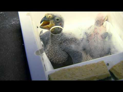 Zoo View Kea Chicks – Cincinnati Zoo