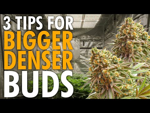 3 Key Tips For Growing Bigger Denser Buds – Indoor Grow