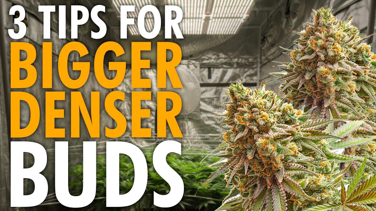 Download 3 Key Tips For Growing Bigger Denser Buds – Indoor Grow