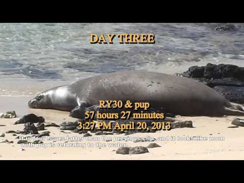 First fifty days in the life of an Hawaiian Monk Seal