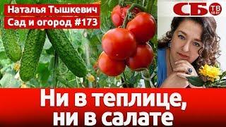 видео Можно ли сажать огурцы и помидоры в теплице вместе