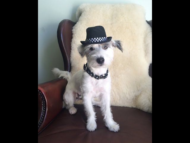 Super Buddy Jack Russell Terrier with his clever dog tricks and moves