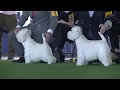 West Highland White Trerrier Westminster dog show 2017 b の動画、YouTube動画。