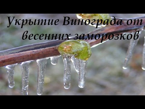 Укрытие винограда от весенних заморозков.[Апрель]