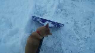 北海道犬 生後118日 雪かきの 手伝い!? 邪魔!? まだまだ 甘えん...