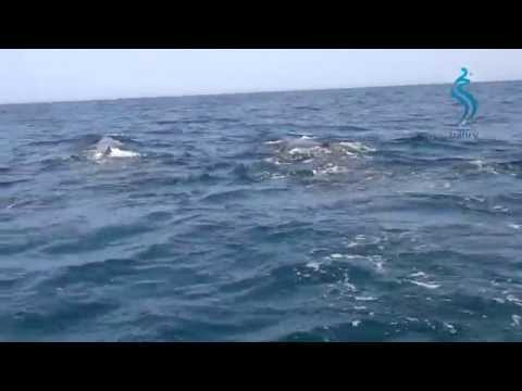 Whales And Dolphins Of Oman