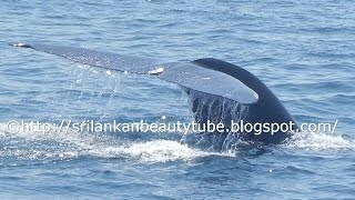 Whale Watching in Sri Lanka unexpectedly came closer