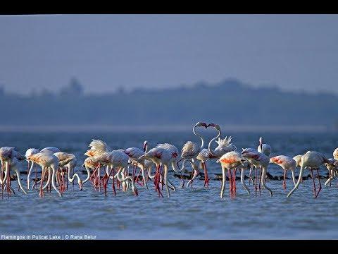 Pulicat Lake Bird Sanctuary, Sriharikota, Andhra Pradesh/ near chennai