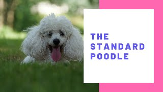 the standard poodle dog  dog breeds : how to select a standard poodle