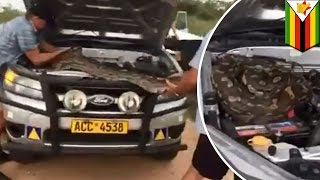 Caught on camera: Family finds giant African rock python under car hood- TomoNews