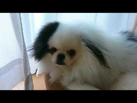 Pomeranian × Japanese Chin
