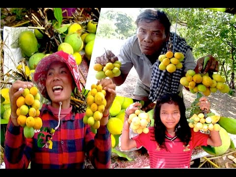 Jungle Fruits at Siem Reap Province & Kampong Thom Province   Kuy Fruits Season in Cambodia