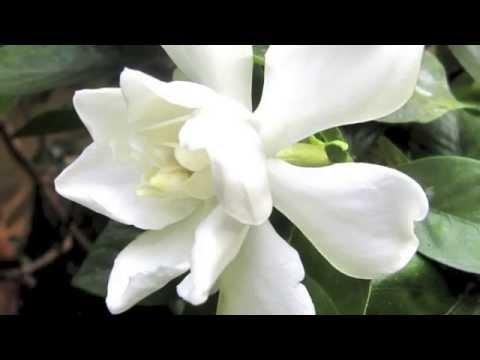 Cómo cuidar gardenias