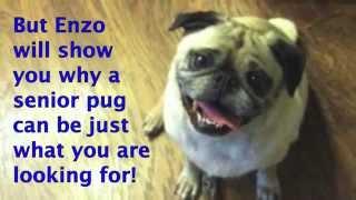 Dfw Pug Rescue - Senior Success Story!