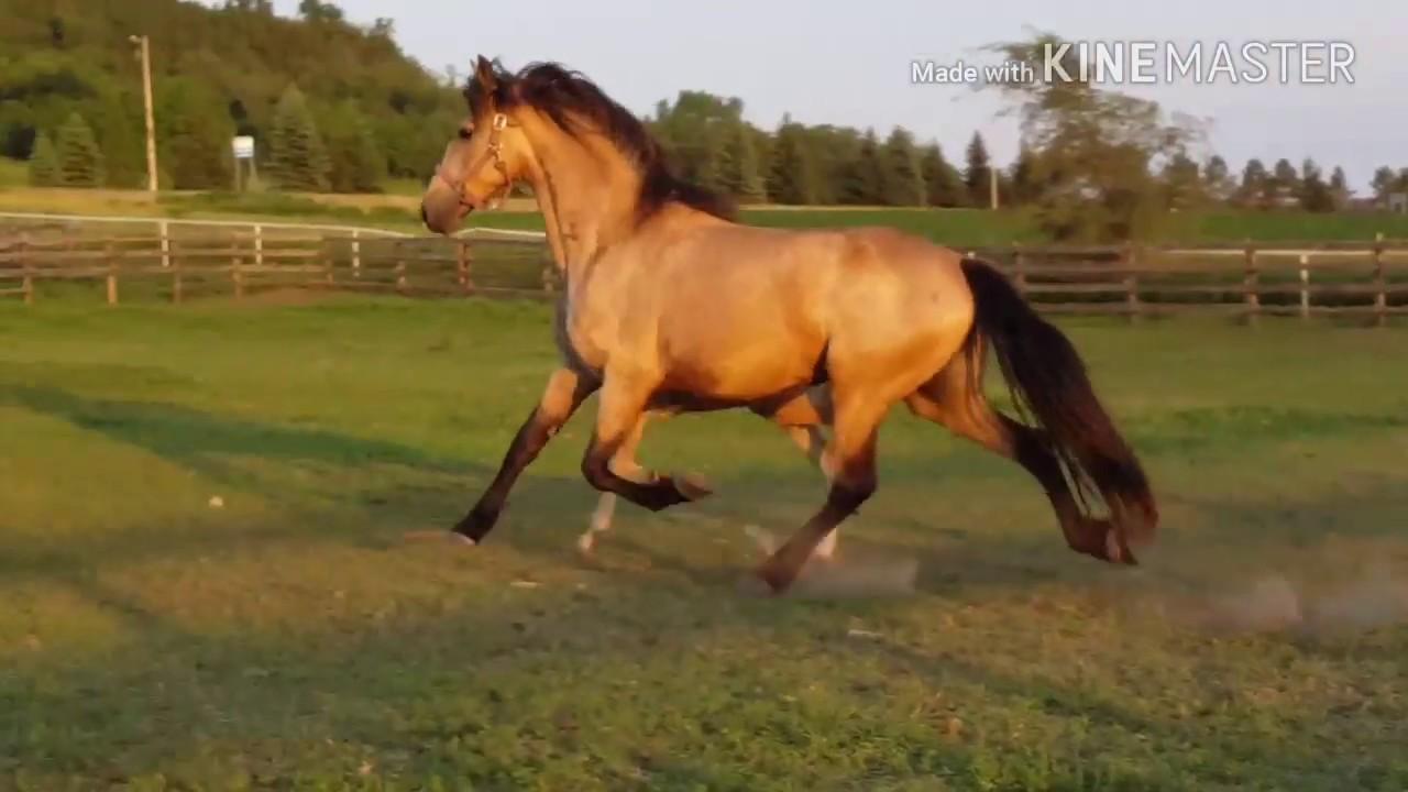 2017 buckskin friesian sporthorse filly for sale youtube