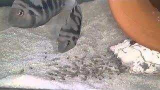 Zebra Ciklet Yavruları
