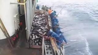 How to Catch hundreds of Tuna without fishing net in few Minutes