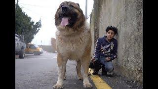 اول-اختبار-ل-كلب-القوقازي-بيل-مع-جمال-العمواسي