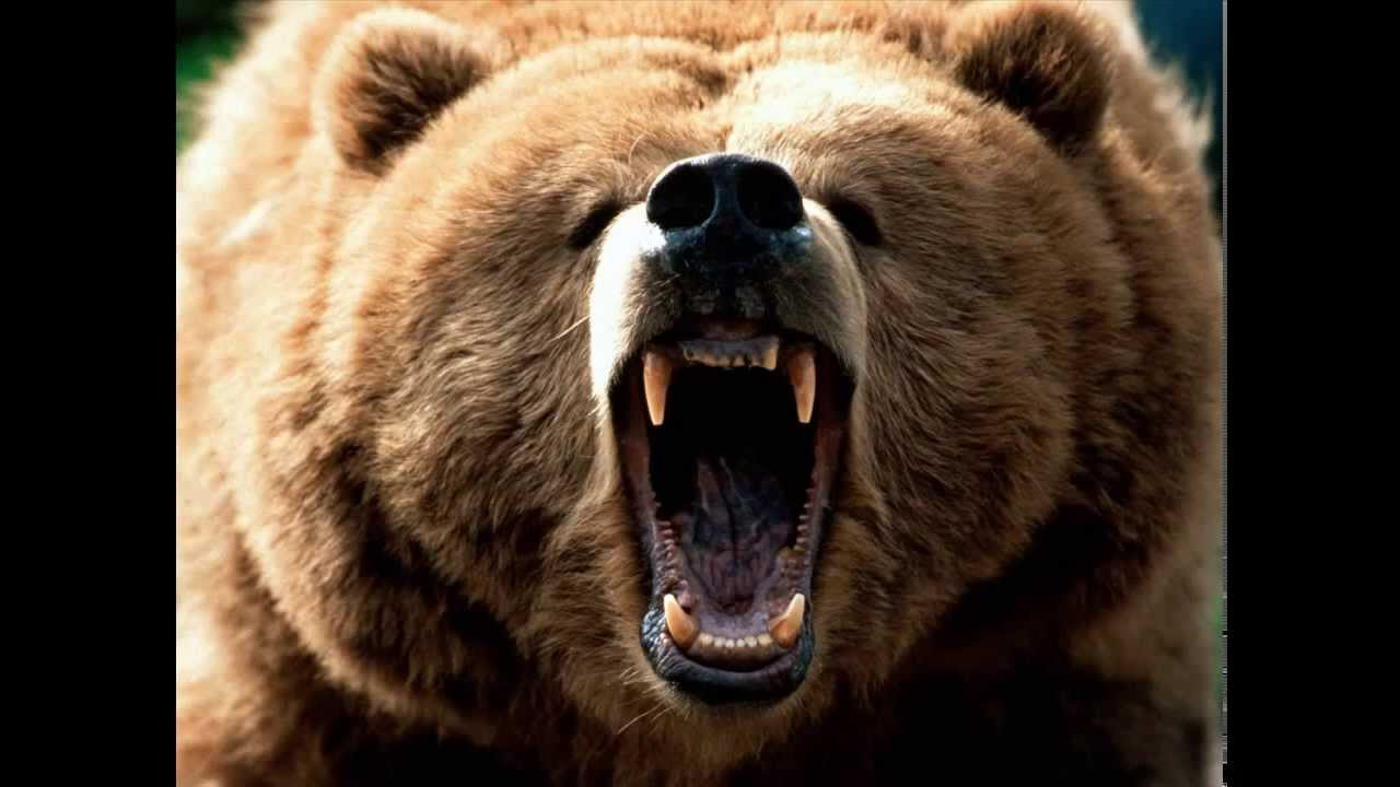 33adbba817e Grizzly Bear Sound Effect - YouTube