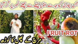 Chilli anthracnose disease  Chilli fruits rot  How to control chilli diseases  IR FARM, hindi/urdu