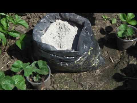 Вопрос: Как часто поливать рассаду земляники?